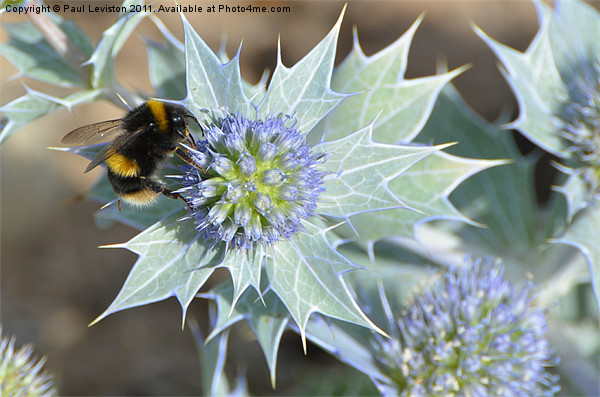 Bee And The Sea Holly Canvas Print by Paul Leviston