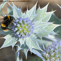 Buy canvas prints of Bee And The Sea Holly by Paul Leviston