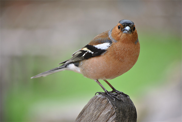 Chaffinch Canvas print by graham young