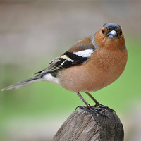 Buy canvas prints of Chaffinch by graham young