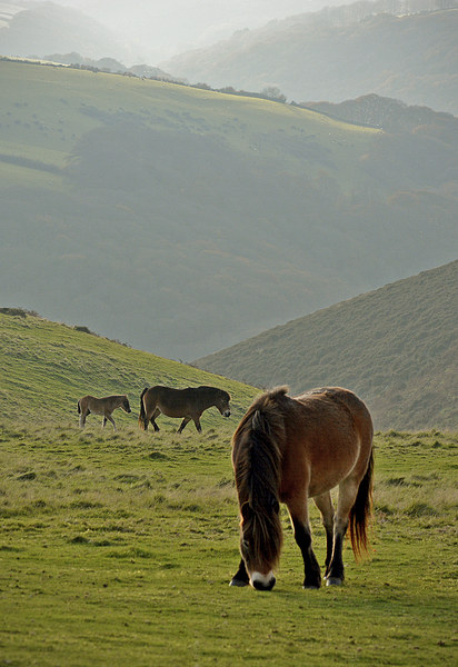 Exmoor Ponies  Canvas Print by graham young