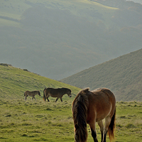 Buy canvas prints of Exmoor Ponies  by graham young