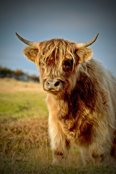 Highland Cattle Canvas print by graham young