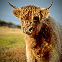 Buy canvas prints of Highland Cattle by graham young