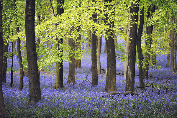 Bluebells at Ashridge Canvas print by graham young