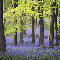 Buy canvas prints of Bluebells at Ashridge by graham young