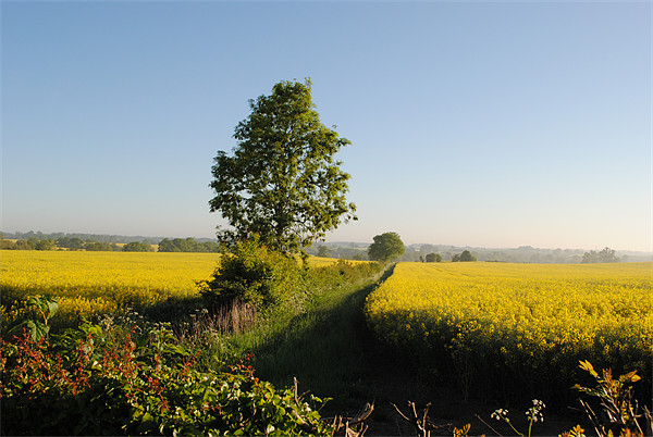 Rape Fields Canvas print by graham young
