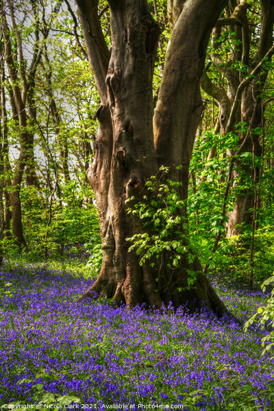 Bluebell Woods Print by Nicola Clark