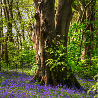 Buy canvas prints of Bluebell Woods by Nicola Clark