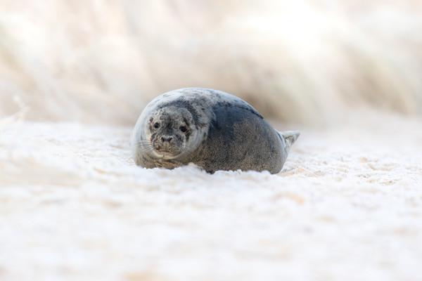 Norfolk Seal Canvas Print by Allan Thornhill