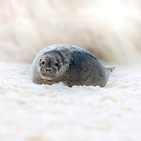 Buy canvas prints of Norfolk Seal by Allan Thornhill