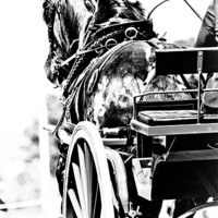 Buy canvas prints of Black & White Horse & Carriage by tony golding