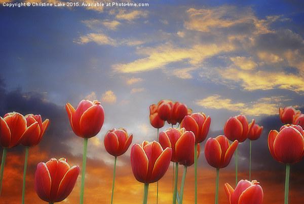 Tulip Sunset Canvas print by Christine Lake