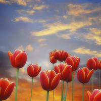 Buy canvas prints of  Tulip Sunset by Christine Lake