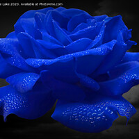 Buy canvas prints of Rose Blue by Christine Lake