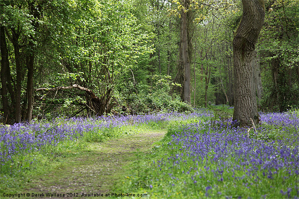 Bluebell wood Canvas print by Derek Wallace