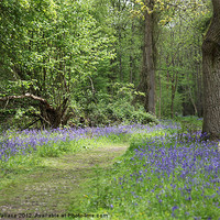 Buy canvas prints of Bluebell wood by Derek Wallace