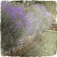 Buy canvas prints of Summer Lavender by Dave Turner