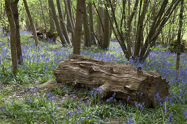 Bluebell Wood Canvas print by Dave Turner