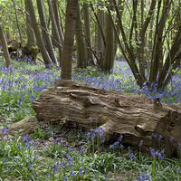 Buy canvas prints of Bluebell Wood by Dave Turner