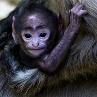 Buy canvas prints of Langur, baby, mother by Raymond Gilbert