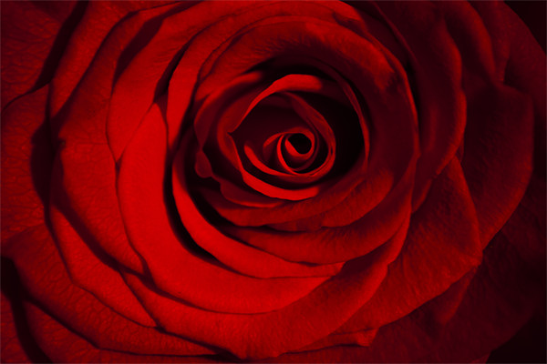Roses are Red Canvas print by Peter Elliott
