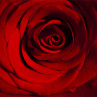 Buy canvas prints of Roses are Red by Peter Elliott