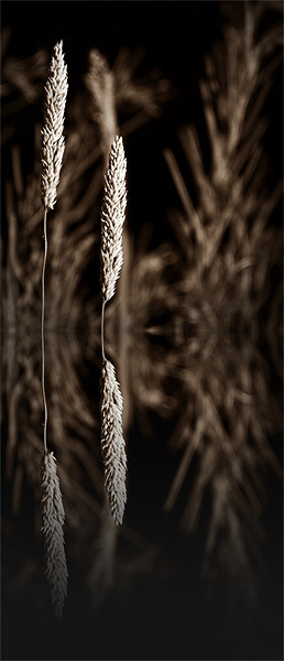 grass reflection sepia - slim Acrylic by Donna Collett
