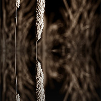 Buy canvas prints of grass reflection sepia - slim by Donna Collett