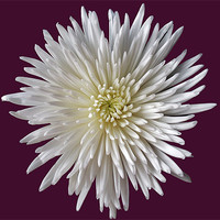 Buy canvas prints of White Bloom Chrysanthemum by Donna Collett