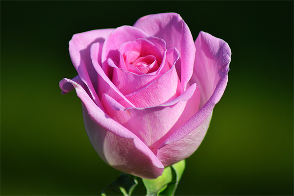 Pink Rose Print by Donna Collett