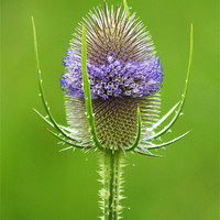 Buy canvas prints of Teasel by Donna Collett