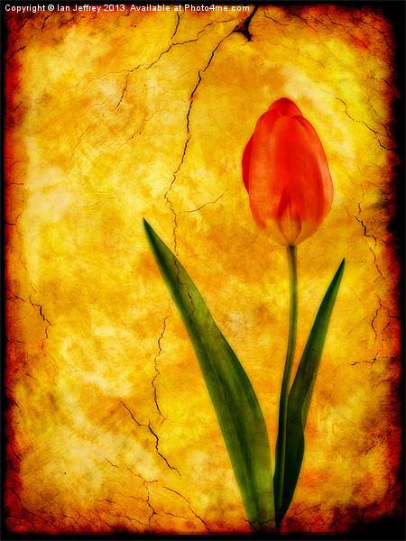 Single Red Tulip Canvas print by Ian Jeffrey