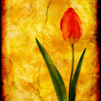 Buy canvas prints of Single Red Tulip by Ian Jeffrey