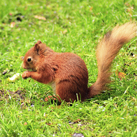 Buy canvas prints of Red Squirrel by Ian Jeffrey