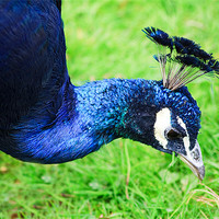 Buy canvas prints of Peacock by Ian Jeffrey