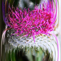 Buy canvas prints of Thistle In Glass by Ian Jeffrey