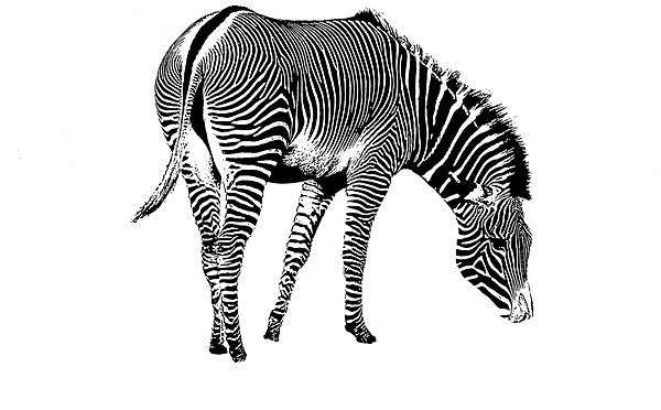 Zebra Canvas print by Ian Jeffrey