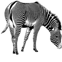 Buy canvas prints of Zebra by Ian Jeffrey