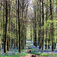 Buy canvas prints of Bluebell Woodland by Ian Jeffrey