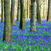 Buy canvas prints of Bluebell Carpet by Ian Jeffrey