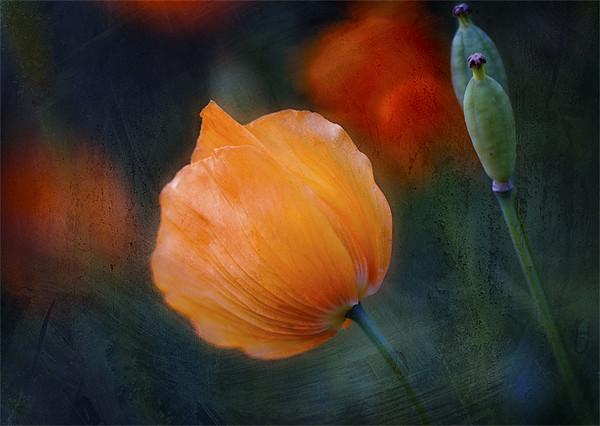 Welsh Poppy Canvas print by Dawn Cox