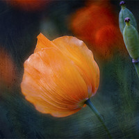 Buy canvas prints of Welsh Poppy by Dawn Cox
