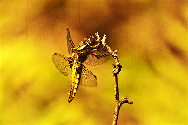Dragon fly Canvas print by Dawn Cox