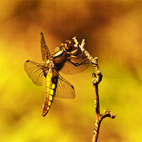 Buy canvas prints of Dragon fly by Dawn Cox
