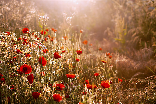 Morning light on Poppies Canvas print by Dawn Cox