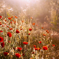 Buy canvas prints of Morning light on Poppies by Dawn Cox