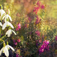 Buy canvas prints of Snow drop and Heather by Dawn Cox