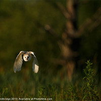 Buy canvas prints of Barn owl flies through the last light by Izzy Standbridge