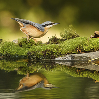 Buy canvas prints of Nuthatch reflecting by Izzy Standbridge